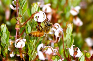 cranberry-bee